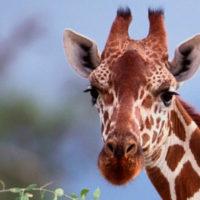 Thaba'Nkwe Giraffe Cabin