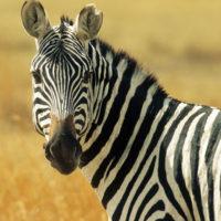 Thaba'Nkwe Zebra Cabin